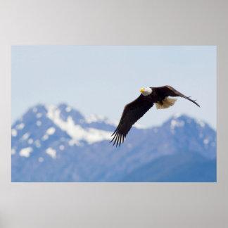 Eagle calvo en vuelo, montañas olímpicas póster