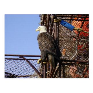 Eagle calvo encaramado en los potes de cangrejo tarjeta postal