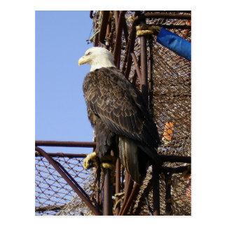 Eagle calvo encaramado en los potes de cangrejo tarjetas postales