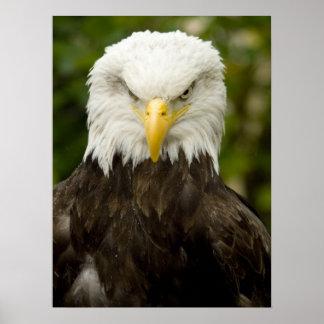 Eagle calvo enojado póster