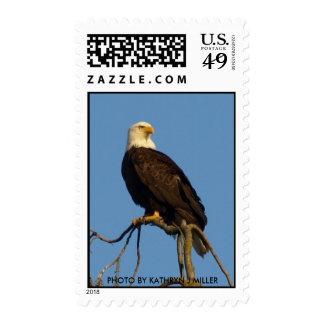 Eagle calvo envio