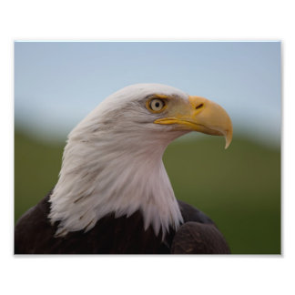 Eagle calvo fotografías