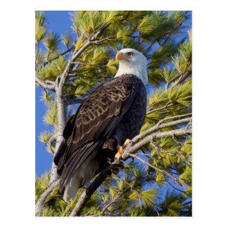 Eagle calvo I Postal