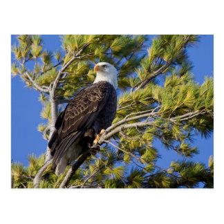 Eagle calvo II Postales