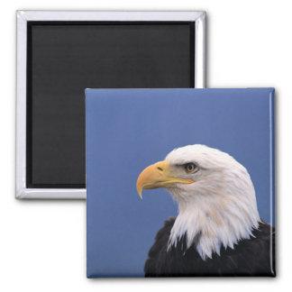 Eagle calvo imanes para frigoríficos