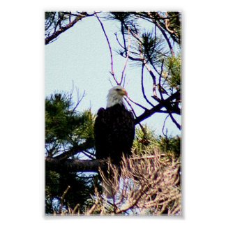 Eagle calvo impresiones