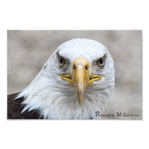 Eagle calvo impresiones fotograficas