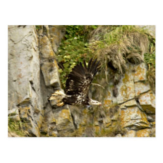 Eagle calvo joven Castle Rock isla de Shumagin Postal