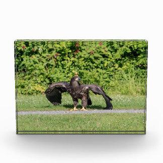 Eagle calvo juvenil