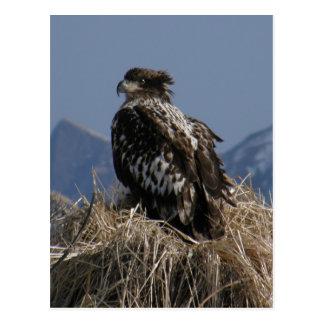 Eagle calvo juvenil por la orilla postales