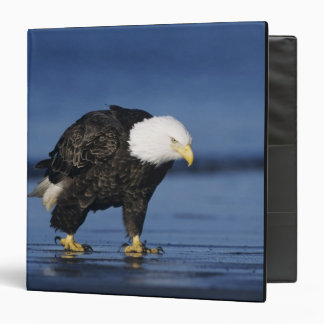 "Eagle calvo, leucocephalus del Haliaeetus, adulto Carpeta 1 1/2"""
