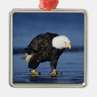 Eagle calvo, leucocephalus del Haliaeetus, adulto Adorno Cuadrado Plateado