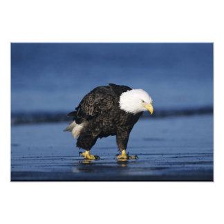 Eagle calvo, leucocephalus del Haliaeetus, adulto Arte Fotográfico