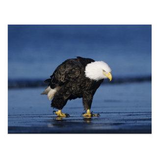 Eagle calvo, leucocephalus del Haliaeetus, adulto Tarjeta Postal