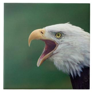 Eagle calvo (leucocephalus del Haliaeetus) Azulejo Cuadrado Grande