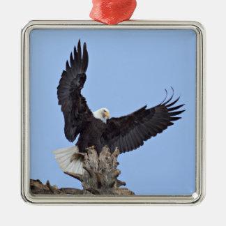 Eagle calvo (leucocephalus del Haliaeetus) con las Adorno Cuadrado Plateado