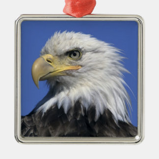 Eagle calvo, (leucocephalus del Haliaeetus), Adorno Cuadrado Plateado