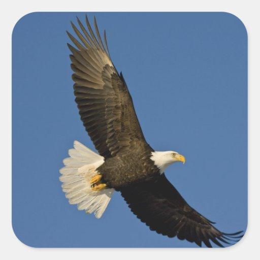 Eagle calvo, leucocephalus del Haliaeetus, home Pegatina Cuadrada