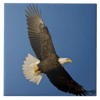 Eagle calvo, leucocephalus del Haliaeetus, home ru Azulejo Cuadrado Grande