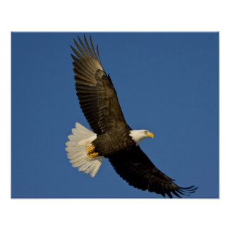 Eagle calvo, leucocephalus del Haliaeetus, home ru Poster