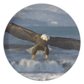 Eagle calvo, leucocephalus del Haliaeetus, home ru Plato De Comida
