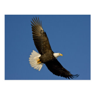 Eagle calvo, leucocephalus del Haliaeetus, home ru Tarjeta Postal