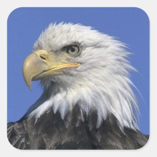 Eagle calvo, (leucocephalus del Haliaeetus), Pegatina Cuadrada