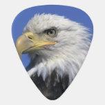 Eagle calvo, (leucocephalus del Haliaeetus), salva