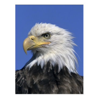 Eagle calvo, (leucocephalus del Haliaeetus), salva Postales