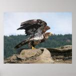 Eagle calvo listo para la impresión de la bella ar impresiones