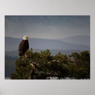 Eagle calvo maduro - impresión de la bella arte impresiones