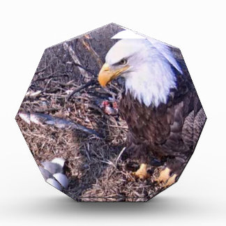 Eagle calvo majestuoso