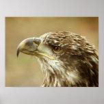 Eagle calvo no maduro poster