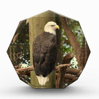 Eagle calvo (pájaro nacional)