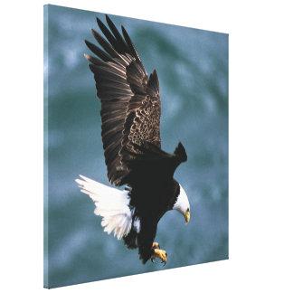 Eagle calvo - pájaro nacional de los Estados Unido Lona Envuelta Para Galerías