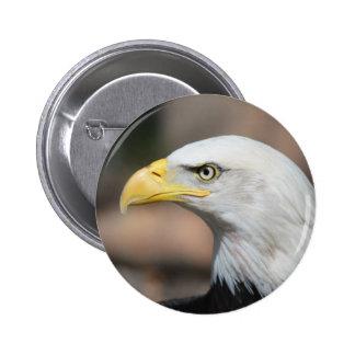 Eagle calvo