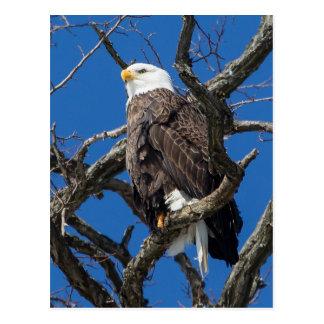 Eagle calvo postales