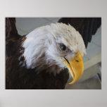 Eagle calvo poster