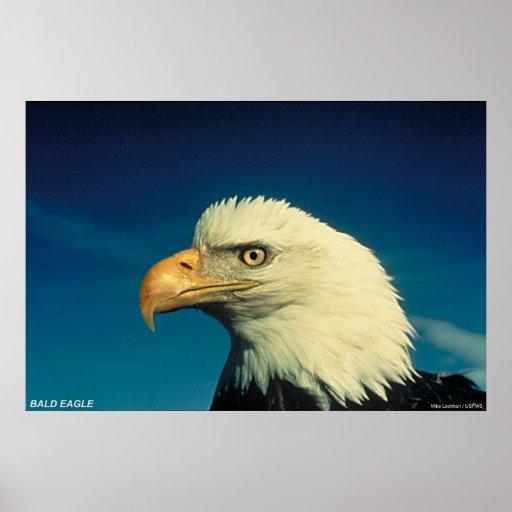 Eagle calvo póster