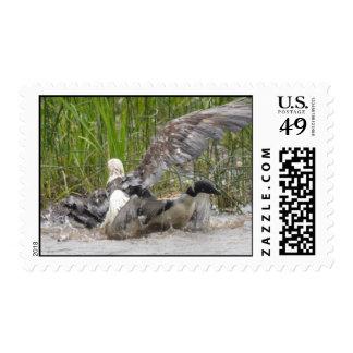 Eagle calvo que ataca a un bribón sello