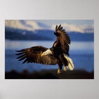 Eagle calvo que aterriza el poster