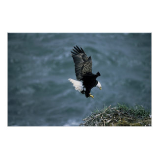 Eagle calvo que aterriza en jerarquía poster