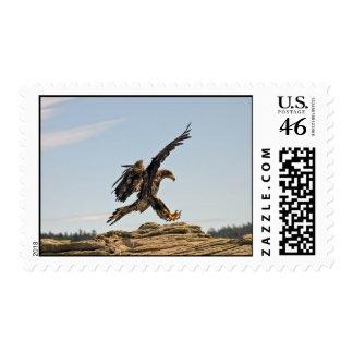 Eagle calvo que aterriza franqueo