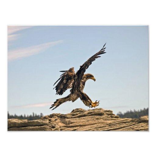 Eagle calvo que aterriza la impresión de la bella  arte fotográfico