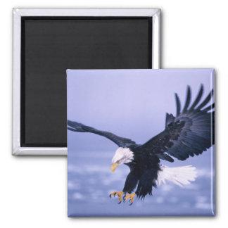 Eagle calvo que aterriza las alas separadas en una imán cuadrado
