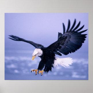 Eagle calvo que aterriza las alas separadas en una poster
