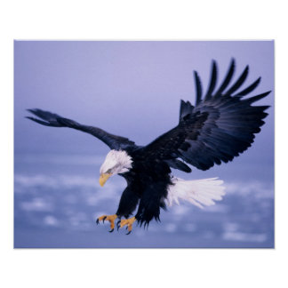 Eagle calvo que aterriza las alas separadas en una póster