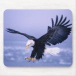 Eagle calvo que aterriza las alas separadas en una tapetes de ratones