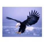 Eagle calvo que aterriza las alas separadas en una postal