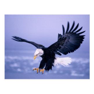 Eagle calvo que aterriza las alas separadas en una tarjeta postal
